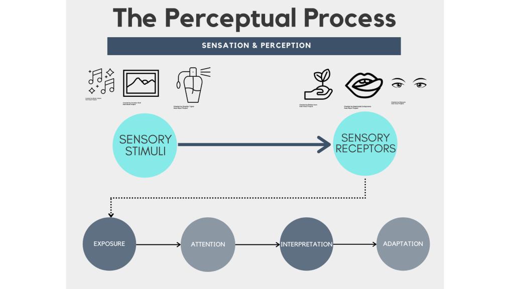 Graphic depicting sensory receptors processing environmental stimuli and further processing stimuli through Exposure, Attention, Interpretation, and eventually Adaptation.