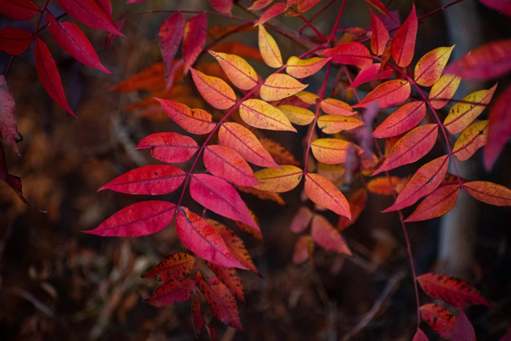 Image of small branches of leaves that are colourful - red, orange, yellow - showing the changing of the season from summer ot fall. Image meant to represent the nature and ecology.